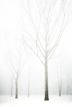 Trees in winter fog