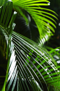 United States, Florida, Boca Raton, Close-up of palm leaves
