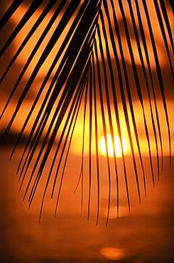 United States, Florida, Islamorada, Silhouette of palm leaf at sunset