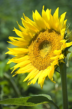 Closeup of single sunflower