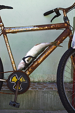 Fish secured to rusty bicycle, Armacao beach, Florianopolis, State of Santa Catarina, Brazil