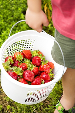 Young boy holding basket of strawberries, low section, close-up