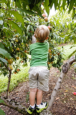 Rear view of boy climbing to pick peach from tree on fruit farm