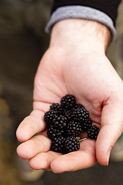 Person holding blackberries