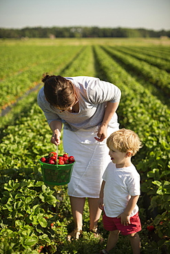 Mother and toddler son picking ripe strawberries in strawberry field