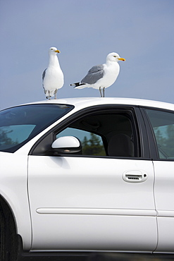 Seagulls perched on car