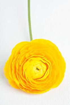 Studio shot of yellow ranunculus flower