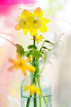 Daffodils in vintage bottle