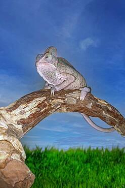 Madagascar, Chameleon on branch