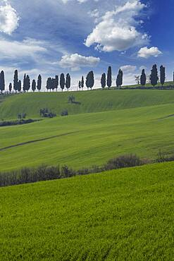 Italy, Tuscany, Val D'Orcia, Cypresses on green hill