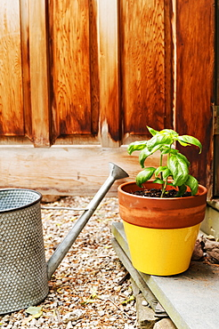 Potted basil and watering can