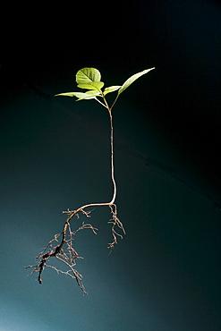 Seedling of plant