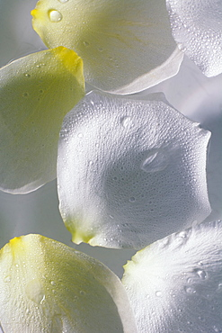 White flower petals used in spa treatment