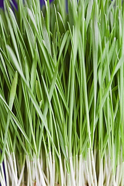 Close-up of wheatgrass