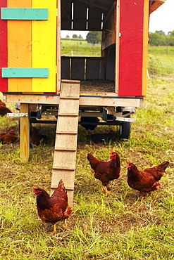 USA, New York State, Rhode Island, Chickens on farm, USA, New York State, Rhode Island