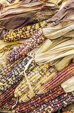 Corn cobs with husks