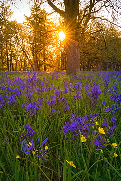 Camas in meadow, Marion County, Oregon