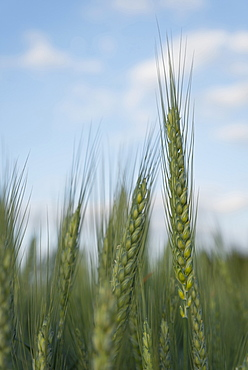 Wheat in field, Marion County, Oregon