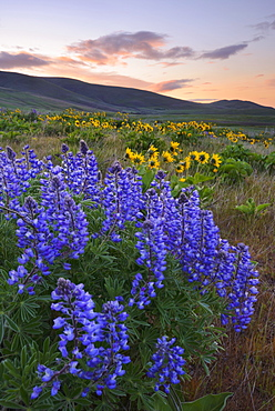 USA, Washington, Dalles Mountain State Park, Landscape with lupine flower in foreground, The Dalles Mountain State Park, Washington