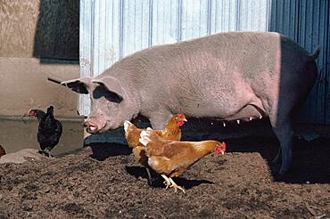 Chickens and pig in farmyard, British Columbia, Canada, North America
