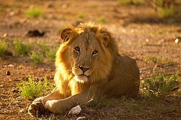 Male lion, Samburu National Reserve, Kenya, East Africa, Africa