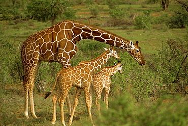 Reticulated giraffe, Samburu, Kenya, East Africa, Africa