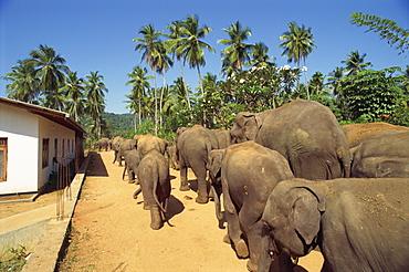 Elephant Orphanage, Pinnawala, Sri Lanka, Asia