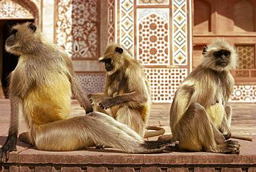 Monkeys at tomb of Akbar, Sikandra, India, Asia