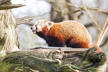 Red panda, Cotswold Wildlife Park, Costswolds, Gloucestershire, England, United Kingdom, Europe