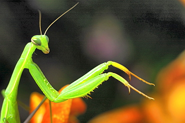 Praying mantis (Mantis religiosa);North West Bulgaria;Europe