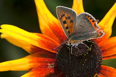 Small copper butterfly (Lycaena phlaeas) (Lycaenidae), Bulgaria, Europe - 1001-102