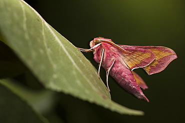Small elephant hawk-moth (Deilephila porcellus), North West Bulgaria, EuropeFamily Sphingidae;Sub family Macroglossinae;Tribe Macroglossini;Sub tribe Choerocampina