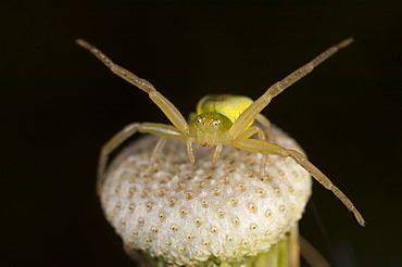Crab spider (Thomisidae), North West Bulgaria, EuropeOrder Araneae;Family Araneida