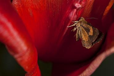 Moth (Heterocera) on red tulip, North West Bulgaria, Europe