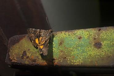 Oak yellow underwing moth (Catocala nymphagoga), Bulgaria, EuropeFamily Noctuidae;Sub family Catocalinae;