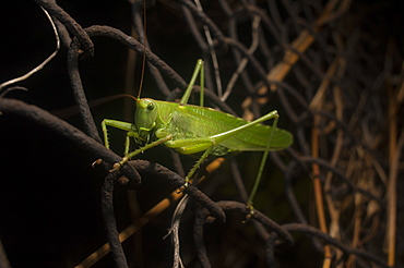 Great green bush-cricket (Tettigonia viridissima), North West Bulgaria, Europe
