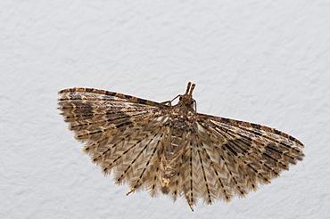Twenty plume moth (Alucita hexadactyla), Bettel, Luxembourg, Europe