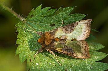 Burnished brass moth (Diachrysia stenochrysis), Bettel, Luxembourg, EuropeFamily Noctuidae