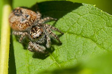 Jumping spider, Salticidae, North West Bulgaria, EuropeOrder Araneae;Family Araneida
