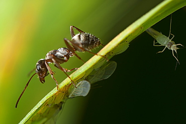 Ant (Formicidae), North West Bulgaria, EuropeOrder Hymenoptera