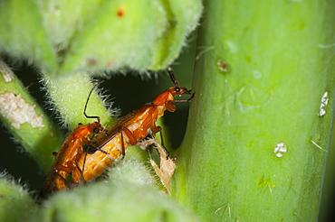Soldier beetles (Cantharis rustica), North West Bulgaria, Europe