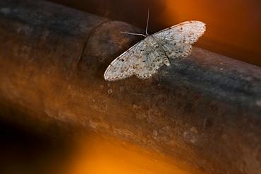 Moth (Heterocera), North West Bulgaria, EuropeFamily Geometridae