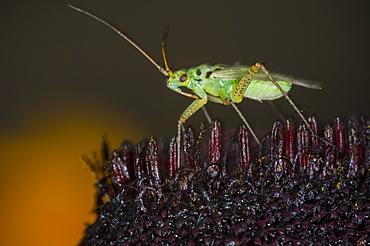 Capsid (Plant bug) (Mirid bug) (Miridae), North West Bulgaria, EuropeOrder Coleoptera