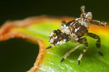 Leafhopper (Planthopper) (Delphacidae) (Delphacid), North West Bulgaria, Europe