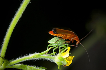 Shieldbug (Pentatomoidea) nymph and soldier beetle (Cantharis rustica), North West Bulgaria, Europe