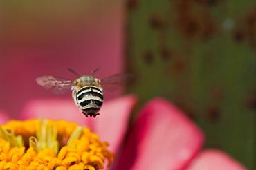 Bee (Apocrita), North West Bulgaria, EuropeOrder Hymenoptera;Family Apidae