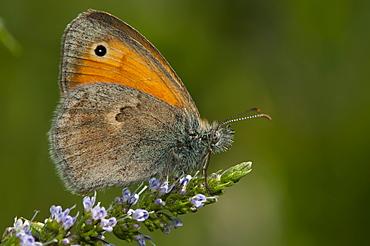 True browns (Elymniini), North West Bulgaria, EuropeFamily Nymphalidae;Sub family Satyrinae