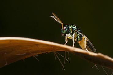 Parasitic wasp, North West Bulgaria, EuropeOrder Hymenoptera