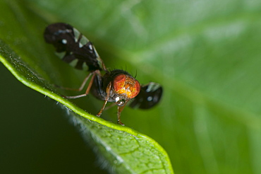 Fly (Diptera) (true flies), North West Bulgaria, Europe
