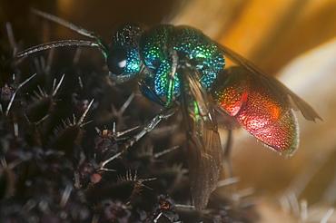 Wasp (Apocrita), North West Bulgaria, EuropeOrder Hymenoptera